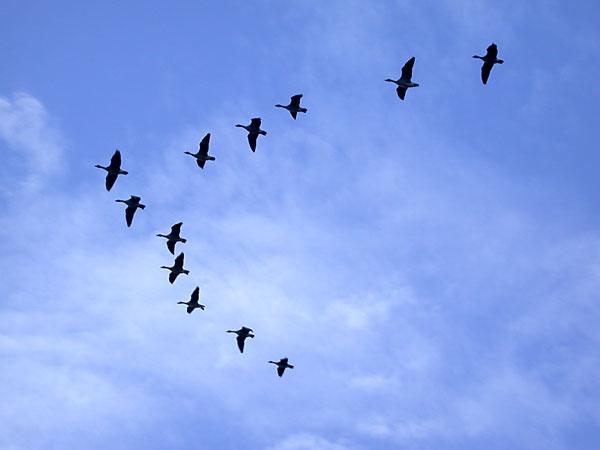 http://www.acen.ch/wp-content/uploads/2008/12/oiseaux-migrateurs.jpg